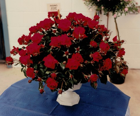 The Rising Star Rose from Harkness Roses